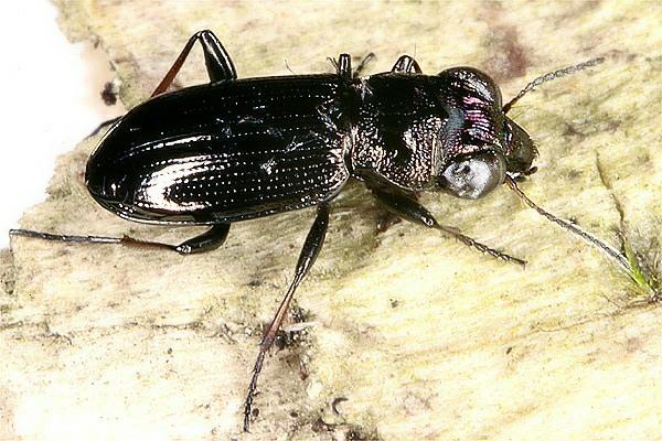 Notiophilus palustris duftschmid 1812
