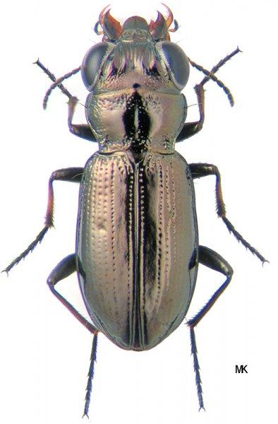 Автор фото josef dvorak http www biolib cz en taxonimage