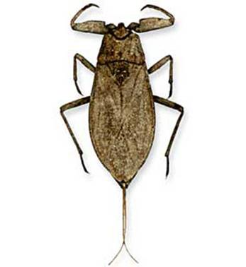 Водяной скорпион серый nepa cinerea linnaeus 1758
